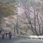 宮崎県西米良村越野尾地区「桜まつり&桜ウォーキング」当日のお手伝い ウォーキング編