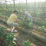 夏の風物詩 ピーマンの糸吊りボランティア